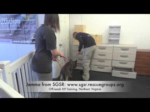 Rescue German Shepherd Doing Amazing on Nose Detection!  Northern Va Dog Training