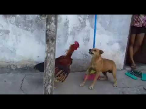 Pinche pelea epica gallo vs perro