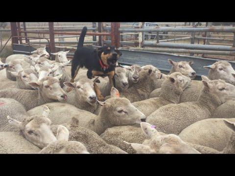 'TEX' Jerilderie Working Dog Auction 2020 Lot 12