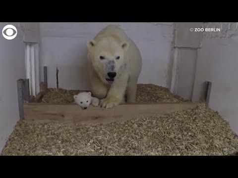 VIDEO: Berlin Zoo releases video of its female polar bear cub