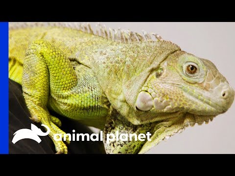 Dr. Ross Finds Abscess On Iggy The Iguanas Tail | The Vet Life