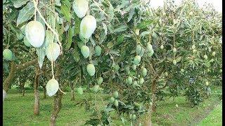 বড় হচ্ছে আম সারাদেশে আমের বাম্পার ফলন ছোট ছোট গাছে বড় বড় আম varieties of mango in bangladesh