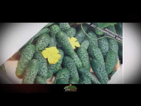 Семена огурец Цезарь F1 5г - Агролидер
