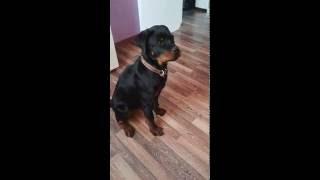 Реакция на лай собак у ротвейлера