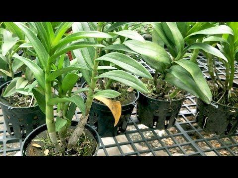Cách Chăm sóc HOÀN HẢO cho phong lan TRƯỚC và SAU khi RA HOA [ Mai Huy ] | Foci