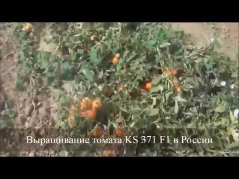 Cемена Китано. Выращивание томата KS 371 F1