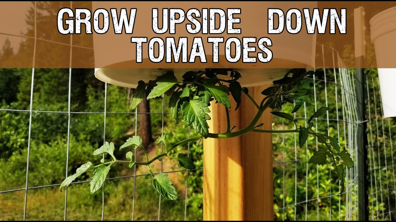 How To Build Your Own Upside Down Tomato Planter