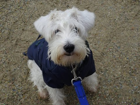 Charlie - Miniature Schnauzer - 4 Week Residential Dog Training at Adolescent Dogs