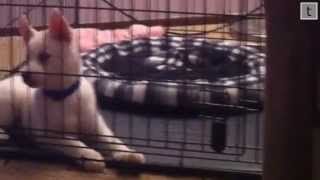 Crate Training Siberian Husky Puppy (long Video)