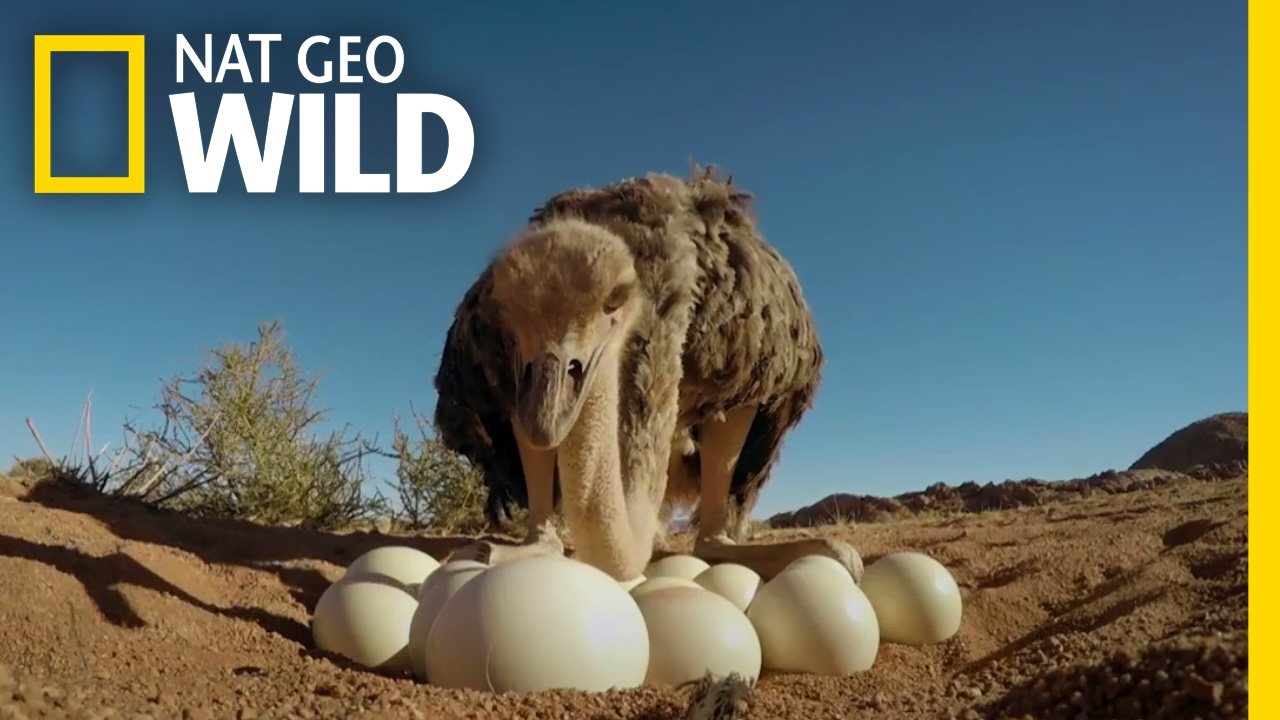 Download How to Protect Ostrich Eggs | Animal All-Stars