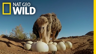 How to Protect Ostrich Eggs | Animal All Stars