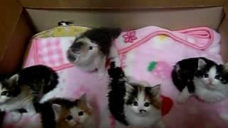 1月8日生まれノルウェージャンの子猫たち.