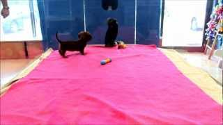 Mini Dachshund And Yorkie Puppies Playing In Boca Raton, South Florida
