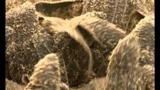 Кожистая черепаха DA1_Educational movie is used on batrachos.com