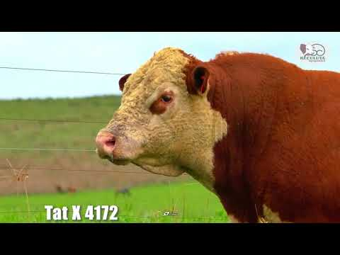 LOTE 06   TAT X4172 TOURO HEREFORD RECULUTA AGROPASTORIL