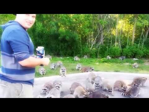 Raccoons going crazy for doritos!