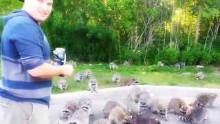 Raccoons going crazy for doritos!