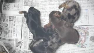 犬2010年5月6日生まれのMダックスの仔犬です。生後2日目の撮影です。 ...
