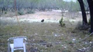 English Springer Spaniel Bird Dog Flushing Out Deer