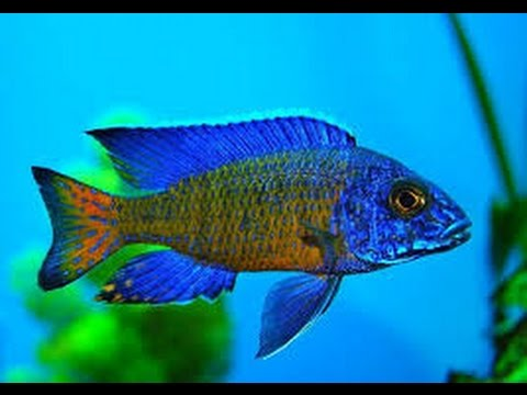 como criar peces ornamentales peces c clidos tvagro