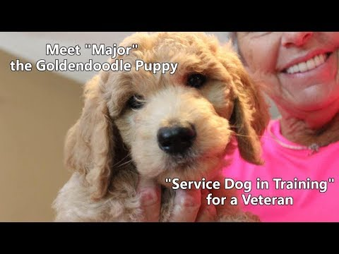 Meet 'Major' the Goldendoodle Puppy - 'Service Dog in Training' for a Veteran