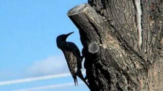 Wild Woodpecker Nest Building
