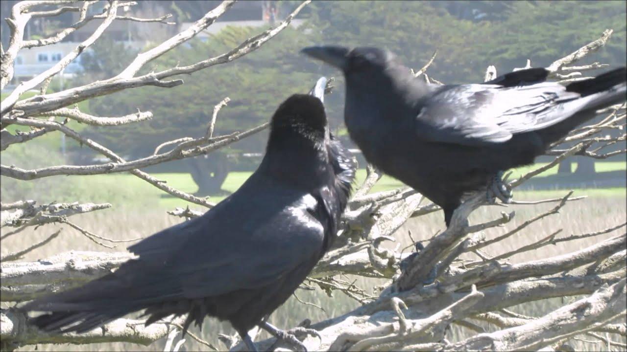 raven making clicking sound