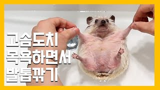 cutting claws while bathing hedgehog