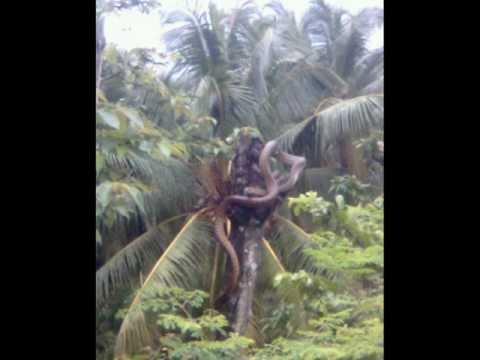 Giant King Cobra At Coconut Tree Youtube