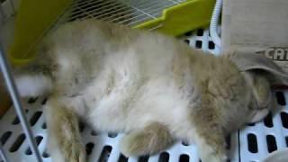 ホーランドロップ、子うさぎの寝姿