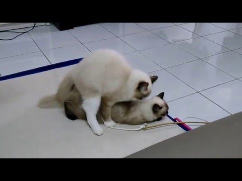 Ragdoll Mix Ragdoll Cat Mating Kucing Mengawan Youtube