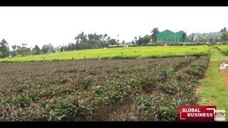 Kenyan tea growers pursue higher earnings with purple tea
