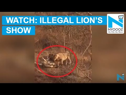 Lion's Show With Live Bait in Gujarat's Girnar Sanctuary | NYOOOZ TV
