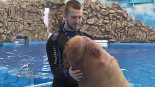 Талантливый морж Миша из Приморского океанариума