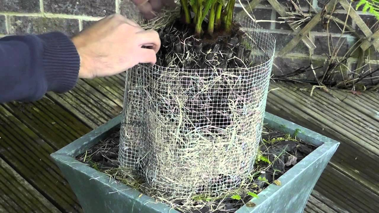 amateur gardening video protecting tree ferns over winter youtube