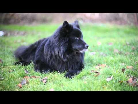 Svensk Lapphund. Stråhles Guztaf Jåsh