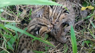 Download Video Menemukan 4 Anak Kucing Hutan | babies of Leopard Cat MP3 3GP MP4