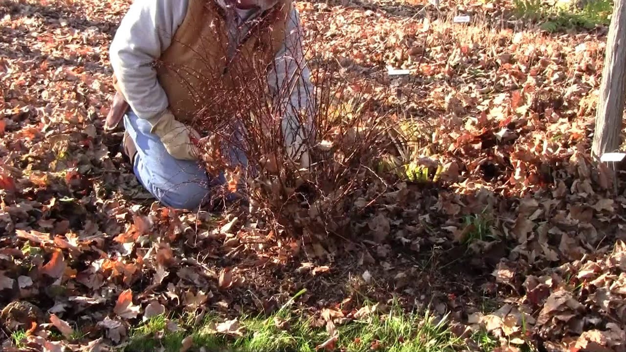 pruning barberry youtube