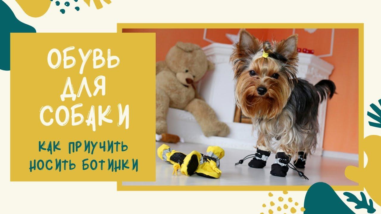 Собака учится ходить в обуви. Первый раз надели ботинки для собак. Как приучить щенка носить обувь
