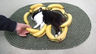 Waking a sleeping rabbit by surrounding him with bananas