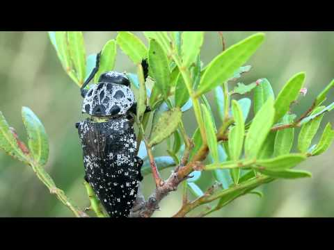 Jewel beetle (Capnodis cariosa) feeding on a Pistacia plant