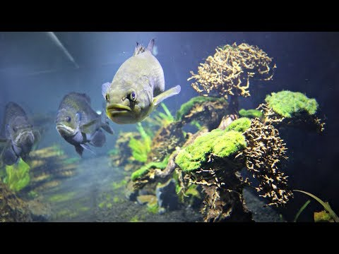 How To Raise Pet Largemouth Bass