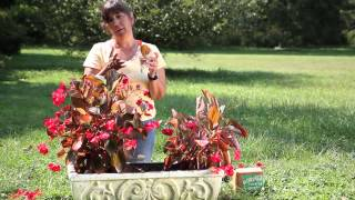 How to Root Large Leaf Annual Begonias : Begonias