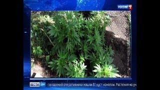Наркоплантация: житель Дона выращивал на своем участке 51 куст конопли