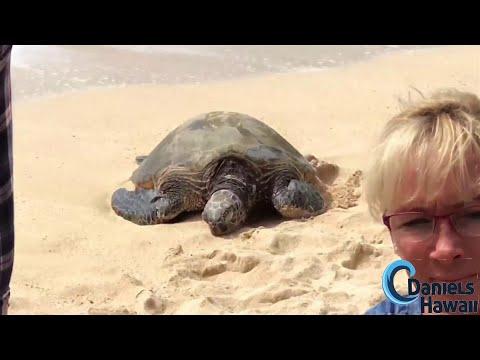 Schildkröten 🐢 Strand Hawaii North Shore Tour mit deutschem Guide - danielshawaii.de