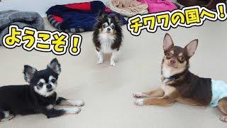 側近チワワの二人… 犬のひみつきちホームページ:http://www.dogs-base....