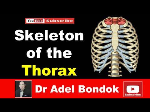 Skeleton Of The Thorax, Dr Adel Bondok