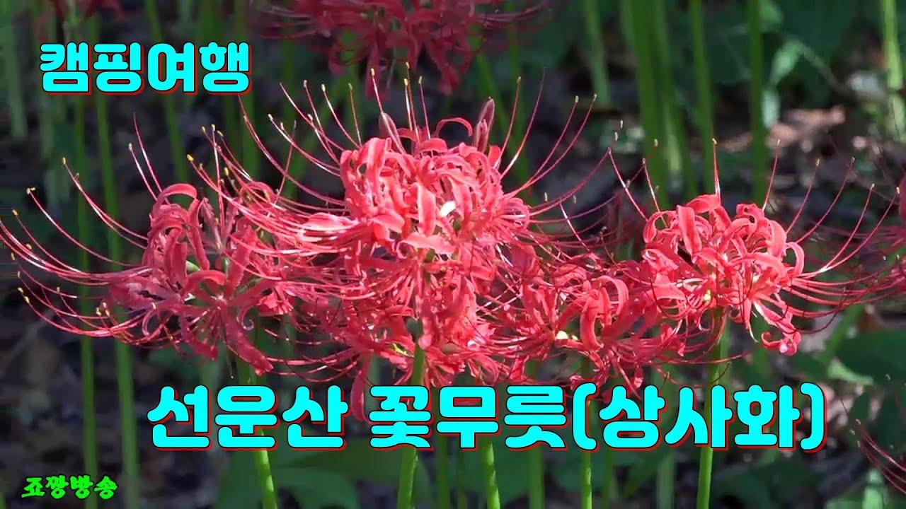 캠핑여행 전북 고창 선운산 선운사의 9월의 꽃 아름다운 꽃 꽃무릇 상사화 꽃창포