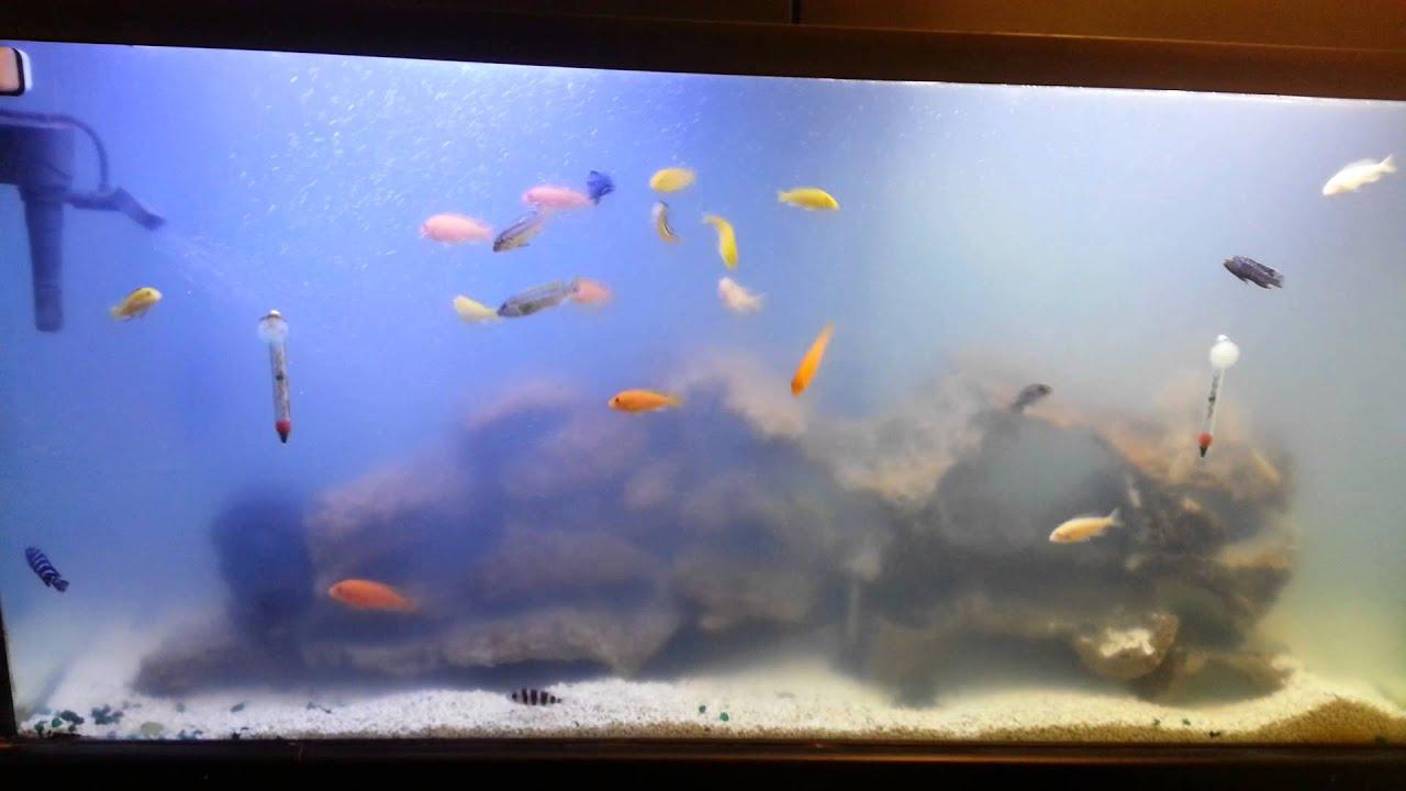 Beginner 80gal cichlid tank bacterial bloom youtube for Bacterial bloom fish tank