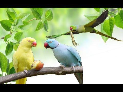 Как определить пол ожерелового попугая! мои наблюдения! Ringneck Parrot.